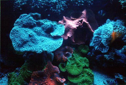 Флюресцентные кораллы