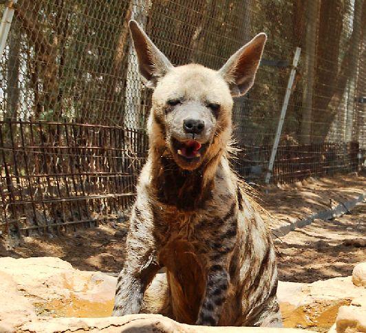 Зловещие гиены в Хай Баре